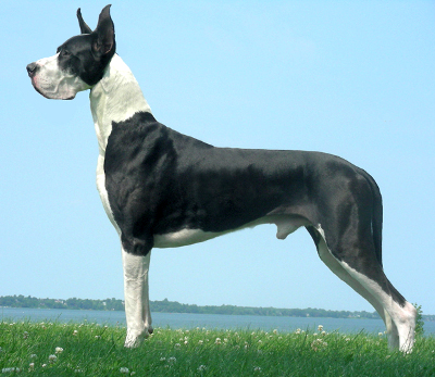 black great dane called mantel
