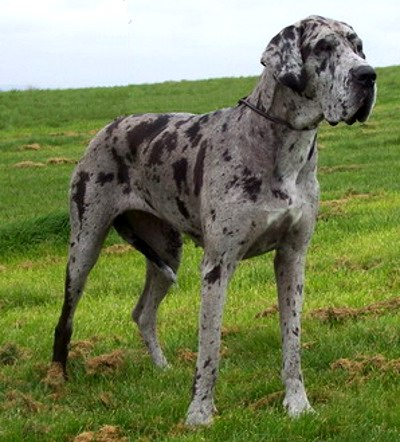 Great dane colours - great dane worldwide portal