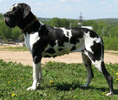 black great dane, plattenhunde